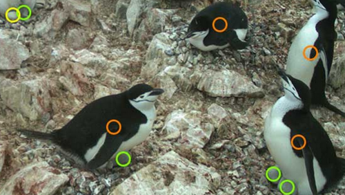 Orange circles identify adults, green circles chicks, and yellow circles eggs.