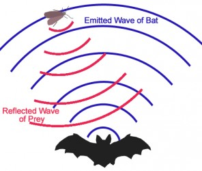 Bat_echolocation