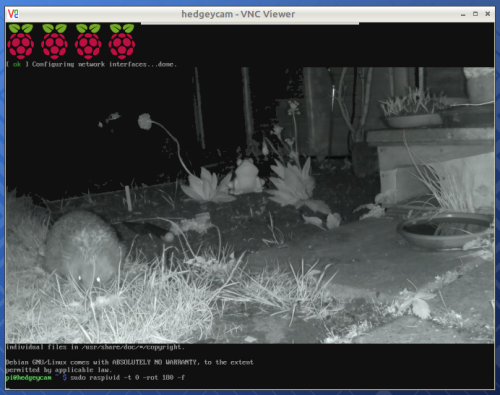 A hedgehog in a garden, photographed in infrared light by a hedgehog cam