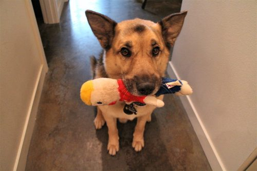 A sitting dog with a doll in its mouth — IoT Pet Monitor Bark Back Raspberry Pi