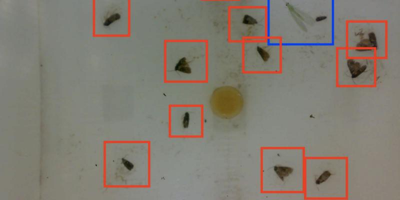 codling moth detection